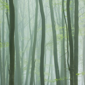 Misty dawn in Micheldever Wood, Hampshire - 35pts