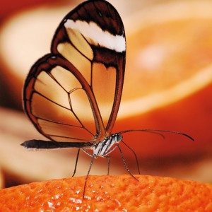 Glasswing butterfly - Editor's choice 9 January 2010
