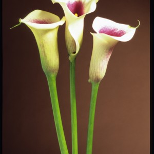 Arum lilies - Editor's choice 16 January 2010