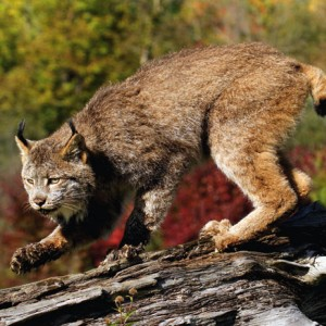 Lynx on the prowl - Editor's choice 11 December 2010