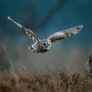 Tawny owl - Editor's choice 8 January 2011