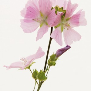 Musk Mallow - Ralph Withers, London  Editor's Choice 11/6/11