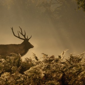 Stag at Woburn - Elliot Hook, Hertfordshire – Editor's Choice 3/12/11