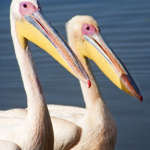 Two pelicans 2391