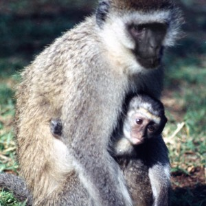 53-04 Mother and baby Vervet Monkey