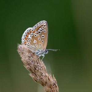 Common Blue Butterfly Macro