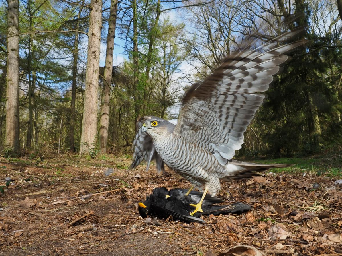 Eurasian sparrowhawk - how to photograph wildlife from a hide