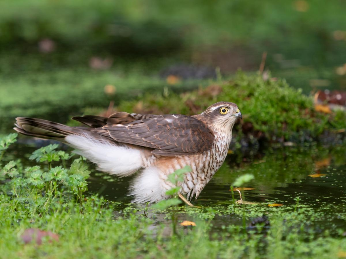 A female Eurasian sparrowhawk bathing in the woodland pool during summer - how to build a hide