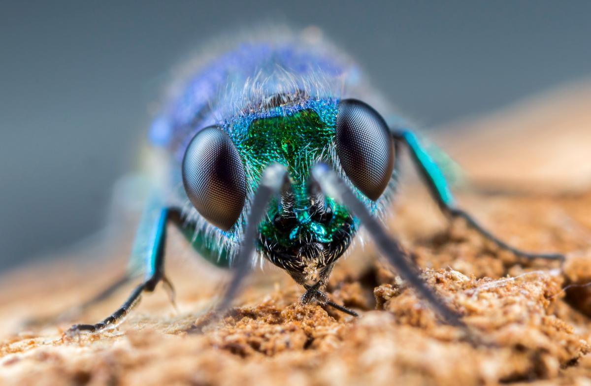 Focus stacked portrait of a ruby-tailed wasp