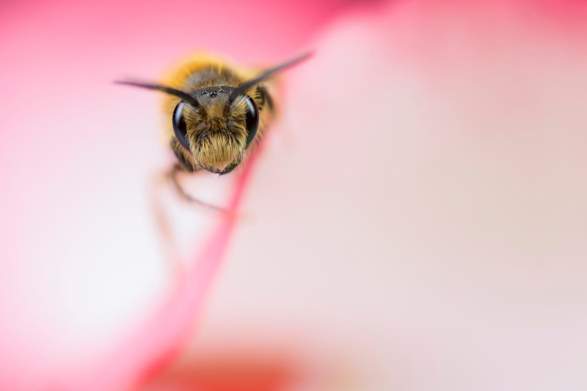 Solitary Bee peeping from inside a rose