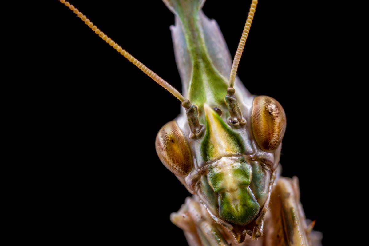 Photo stacked shot of a praying mantis