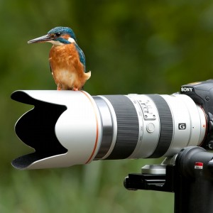 kingfishers like`s the  sony A77