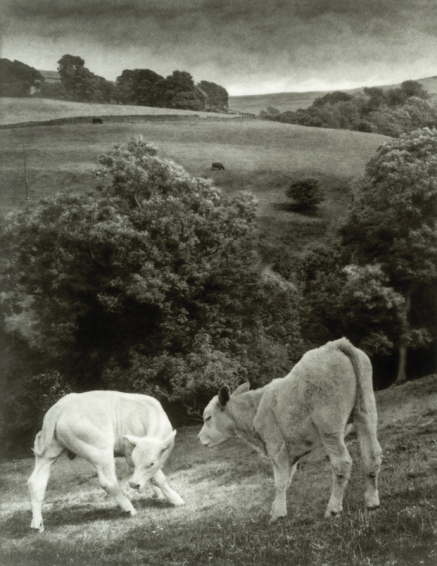 Photo Insight with Andrew Sanderson – Two cows