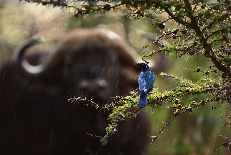 Photo Insight with Jim Brandenburg – Glossy Starling and Cape Buffalo