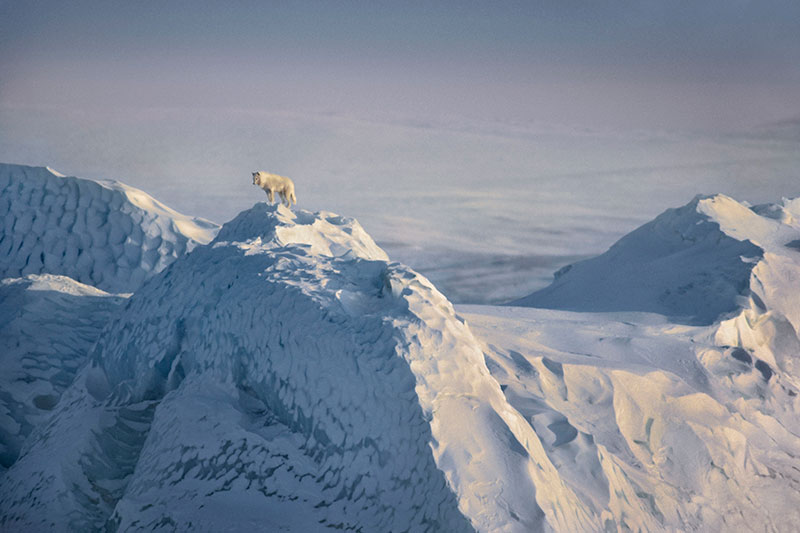 Photo Insight with Jim Brandenburg – Arctic Wolf