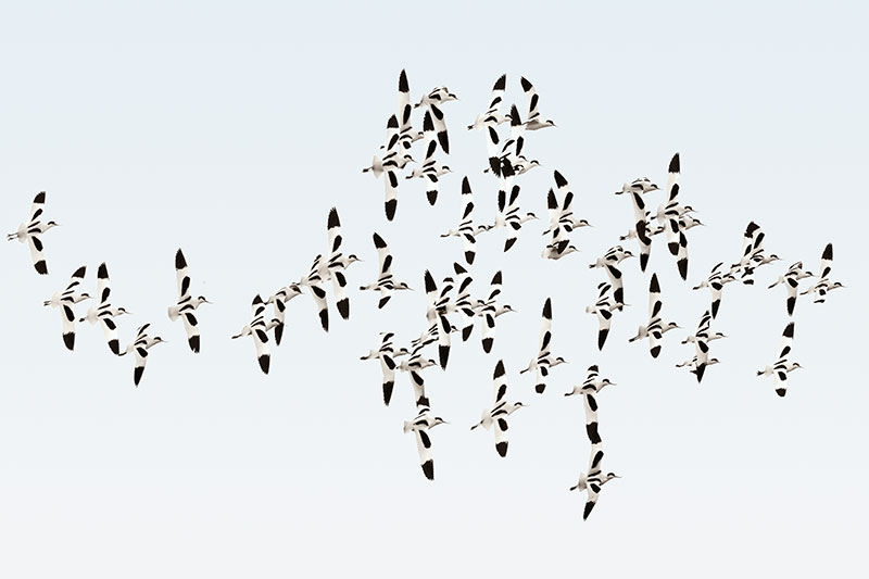 Photo Insight with Jim Brandenburg – Avocets in Flight