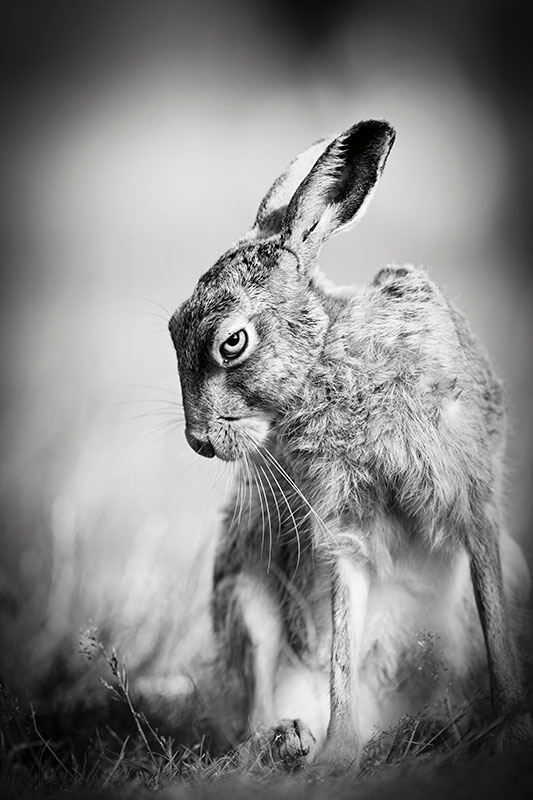 Photo Insight with Peter Denness – European hare