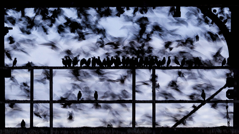 Photo Insight with Phil Jones – Starlings on Aberystwyth Pier