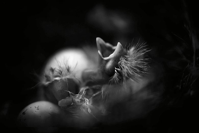Hatching Chicks - Betina La Plante - 20 Sep 2014