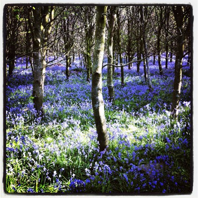 Weekly poll archive bluebells Ailsa McWhinnie