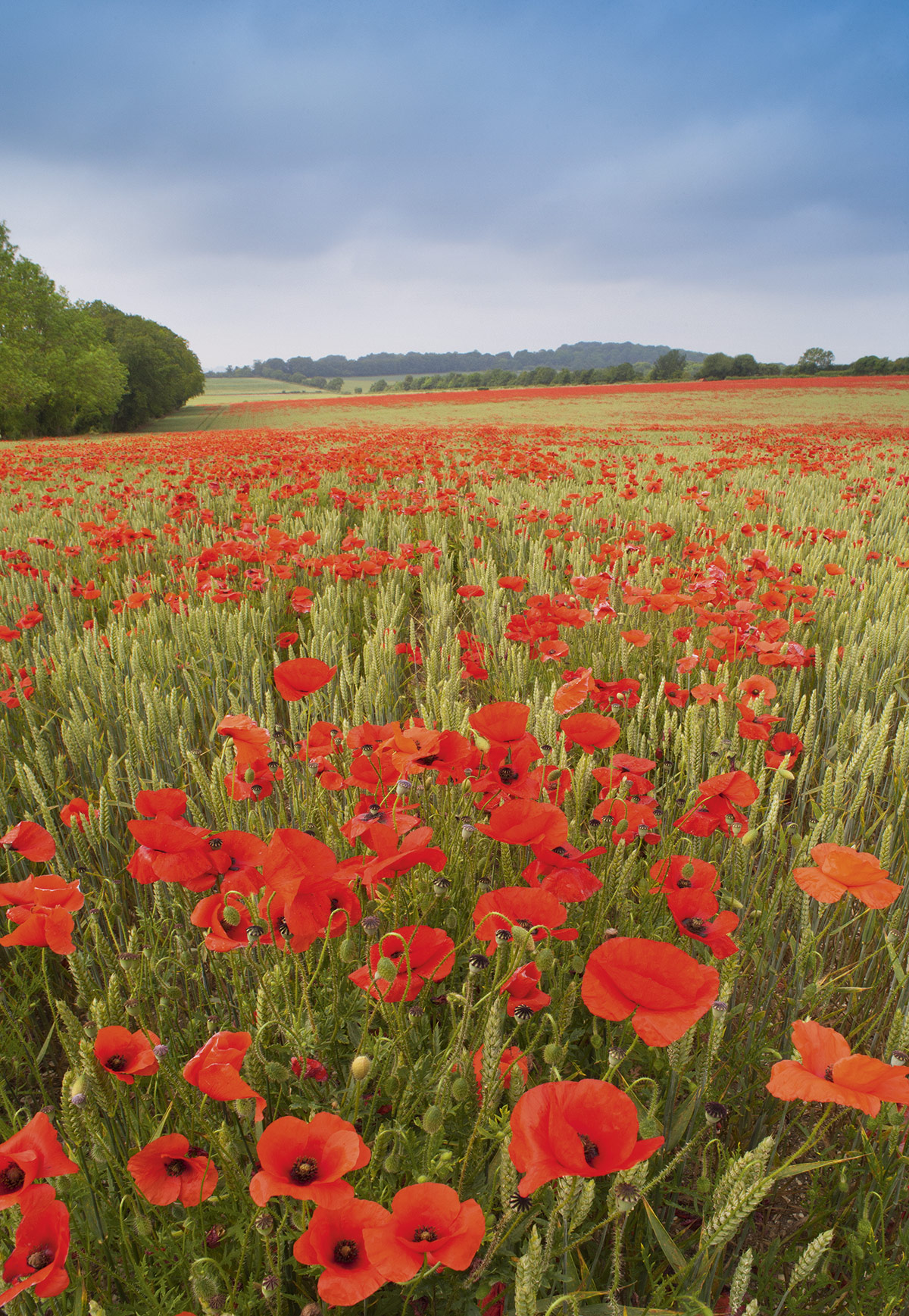 004-Poppies-in-a-wheat-field