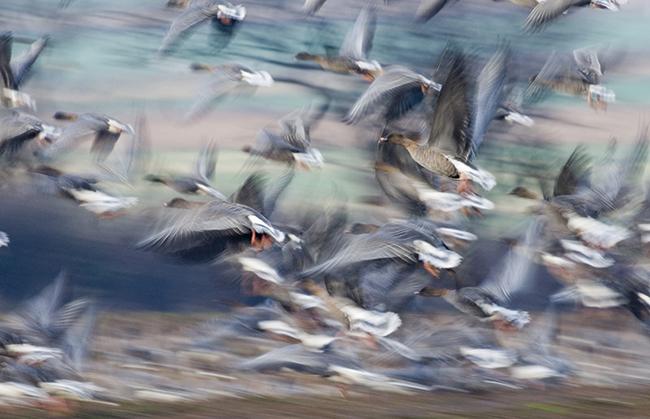 Pink footed geese - blur: by David Tipling
