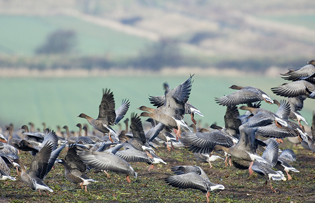 Pink footed geese - freeze: by David Tipling