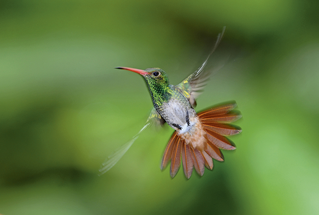 Rufous tailed hummingbird: by David Tipling