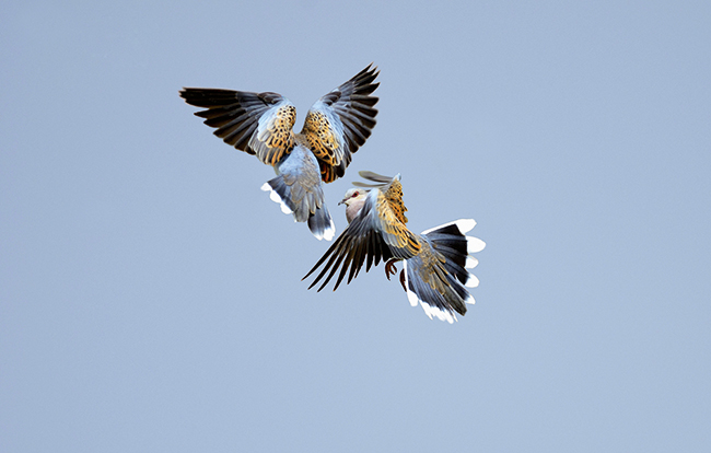 Turtle doves: by David Tipling