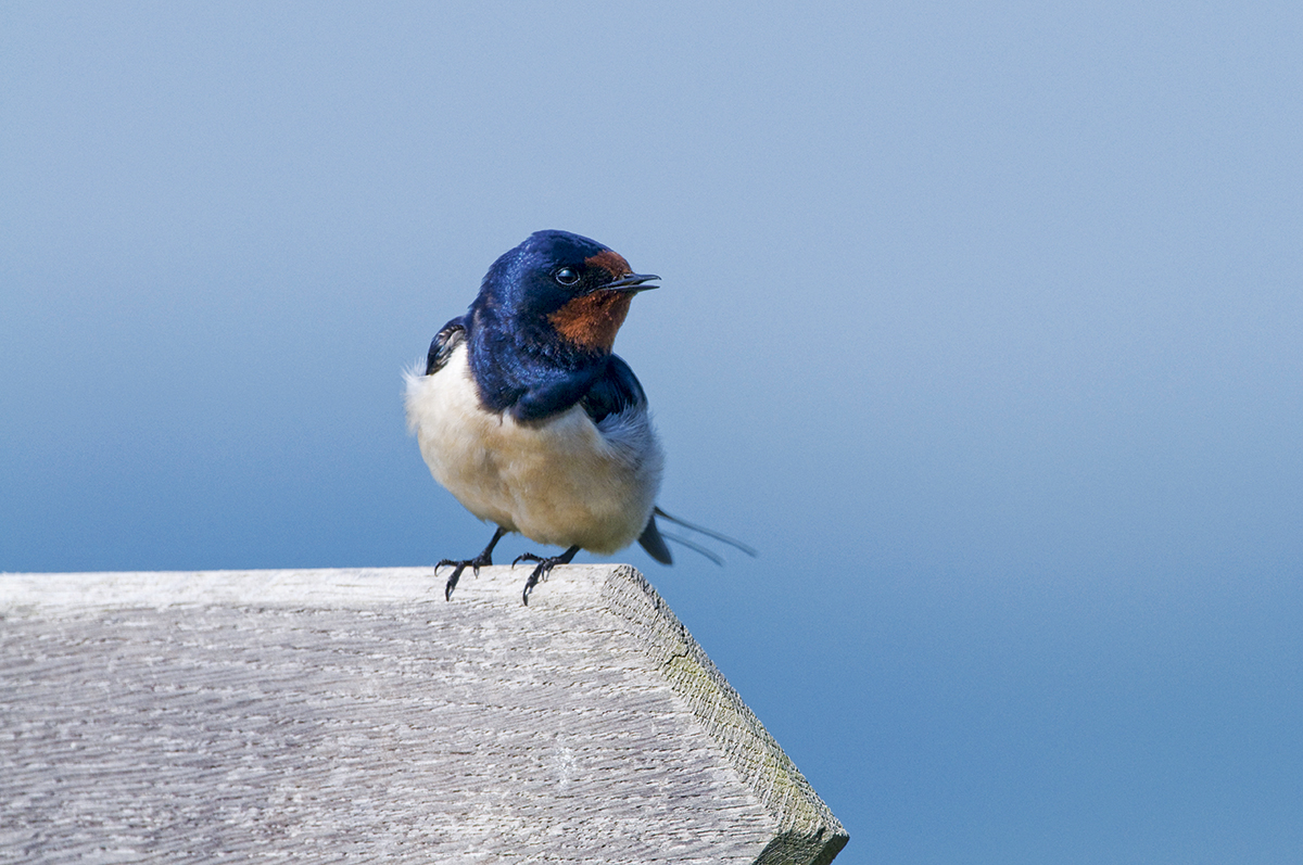 How To Photograph Swallows – Complete Guide
