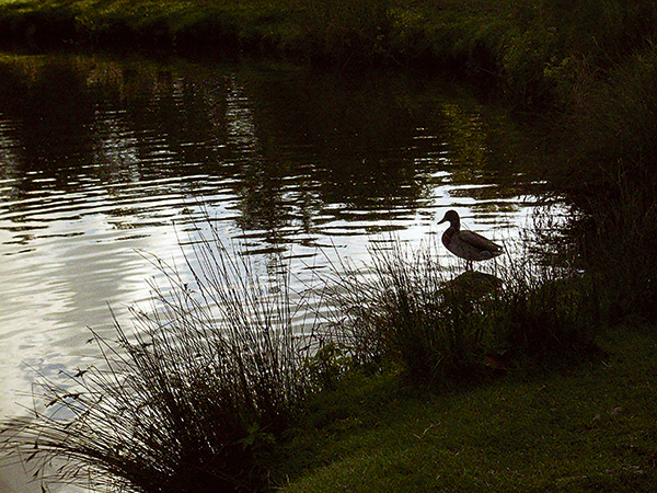 Photo Appraisal: Duck, Bradgate Park