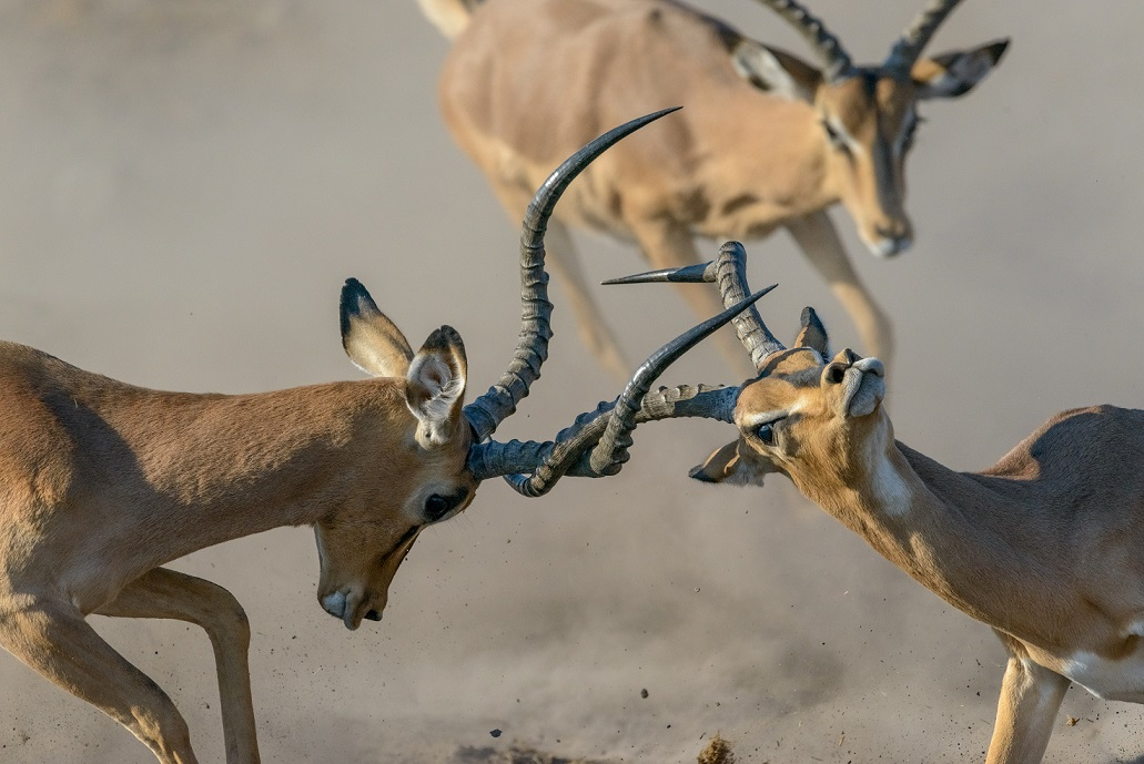 Briton crowned photographer of the year with dramatic image of impalas locking horns