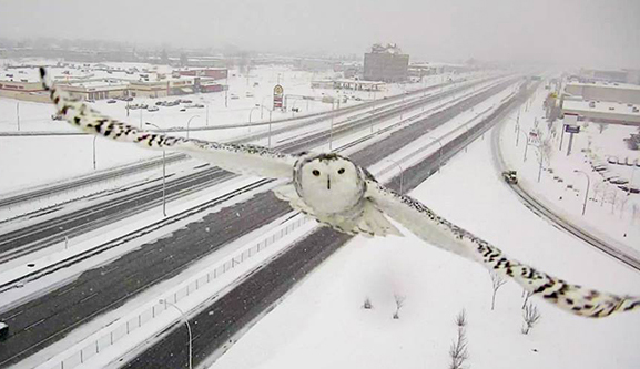 Magnificent images of snowy owl… captured by a traffic camera
