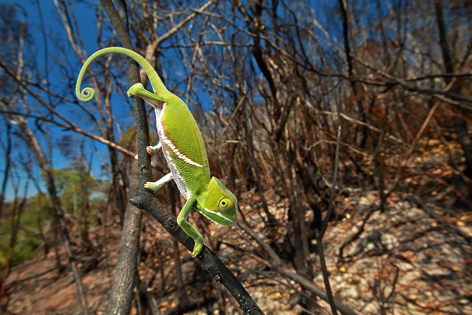 Furcifer balteatus, a juvenile in a recently burned landscape. Fires are often deadly for chameleons, because they can't move fast enough to escape them. The common practice of burning the landscape at the end of every dry season has affected many species of chameleons, and reduced their populations.