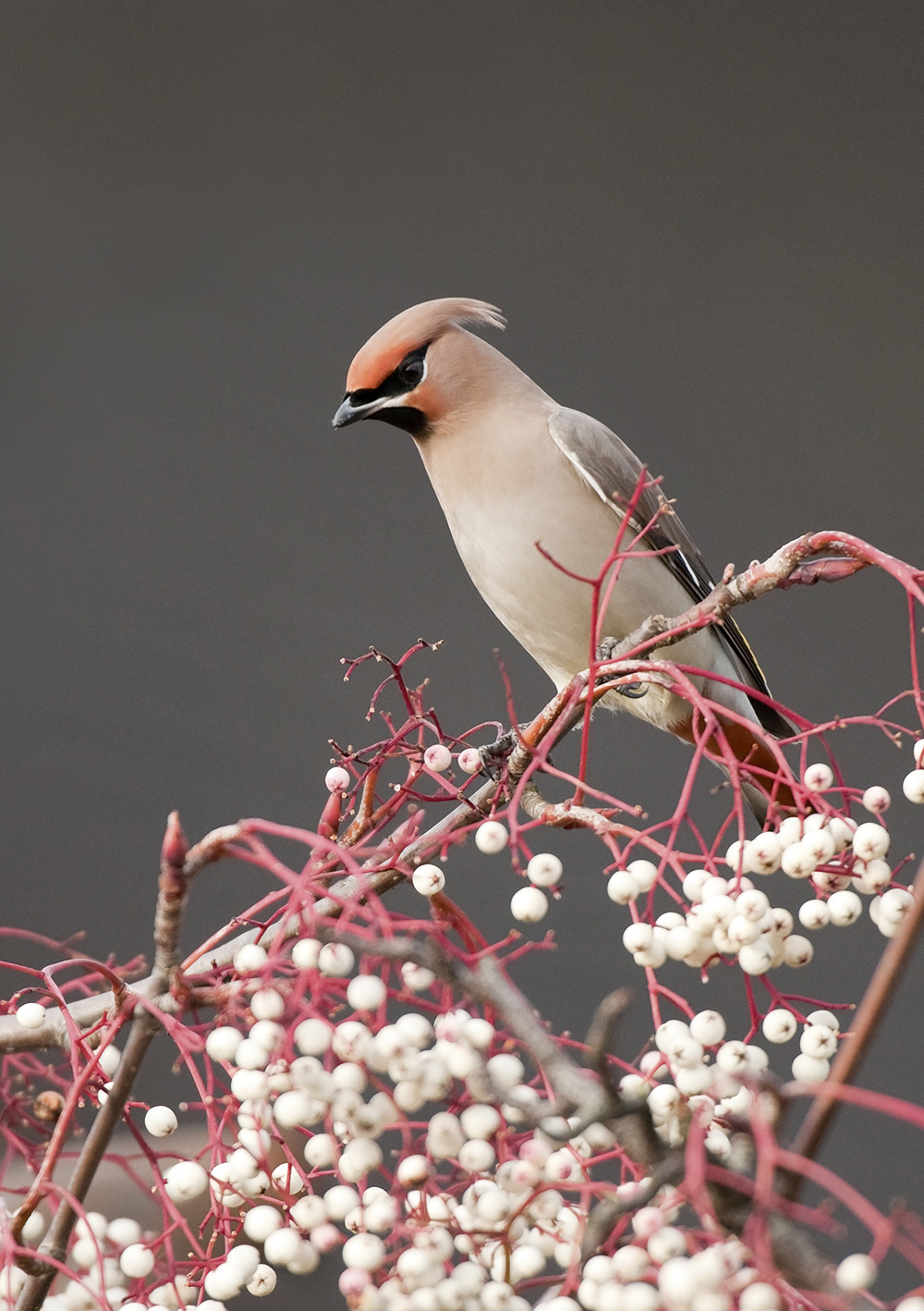 Waxwing-on-branch,-Oscar-Dewhurst