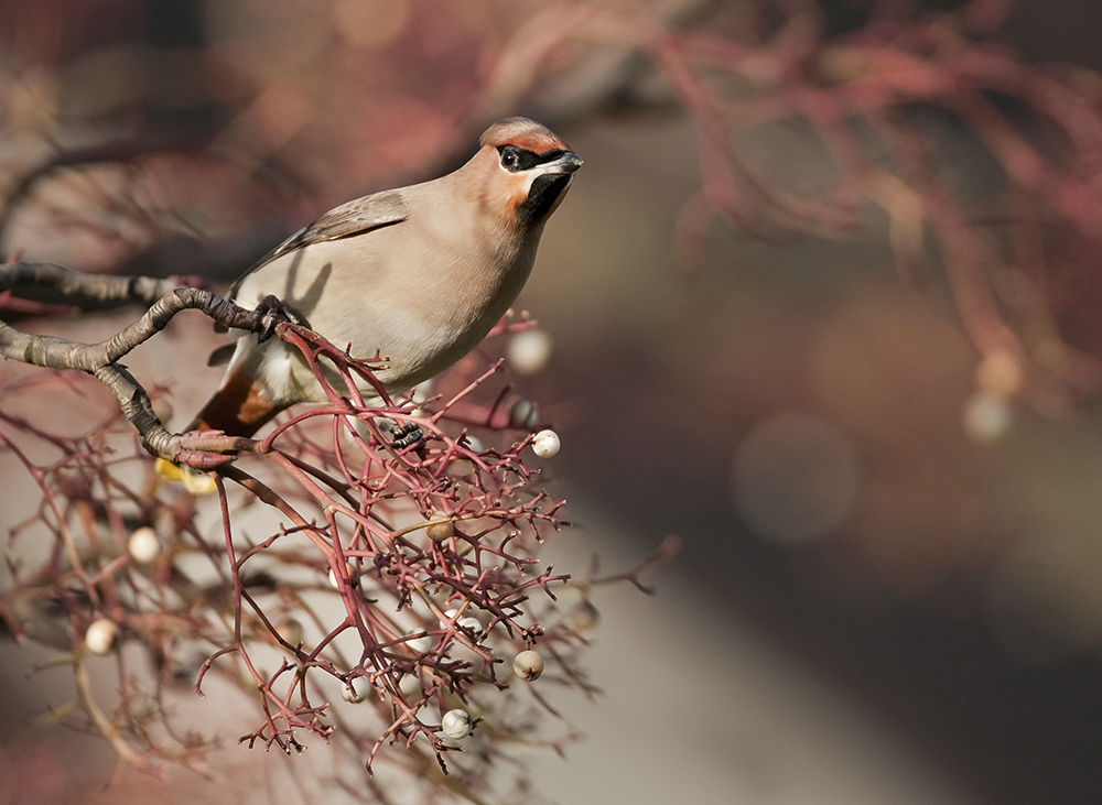 Waxwings-looking-for-food,-Oscar-Dewhurst