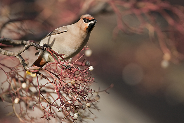 Wildlife watch: photographing waxwings