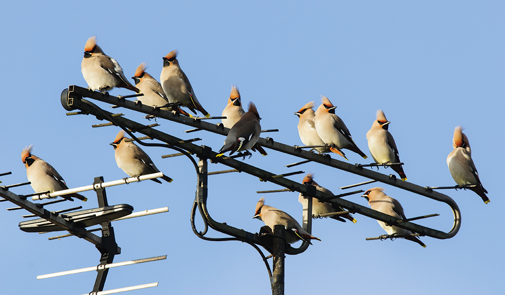 Waxwings,-urban-areas,-Oscar-Dewhurst
