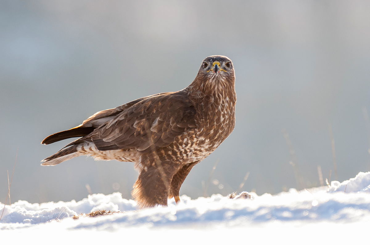 Photo insight with Robert Canis – Common buzzard