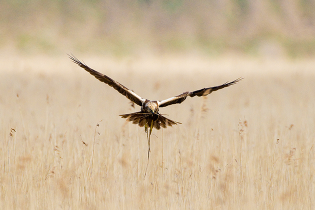 David-Tipling-Marsh-harriers