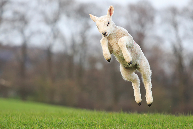 Photographing spring lambs