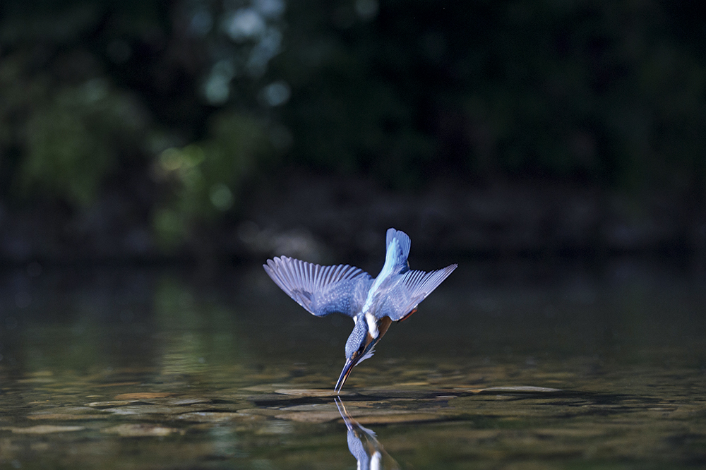 Andrew Mason kingfisher diving
