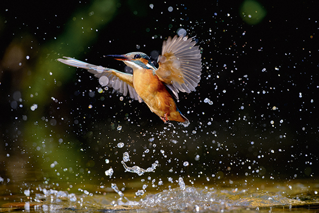 Wildlife watch: Kingfishers