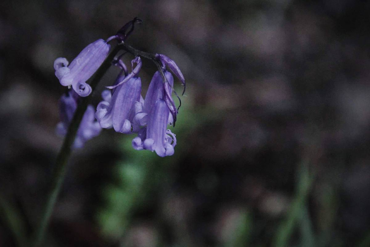 Photo appraisal: Bluebells