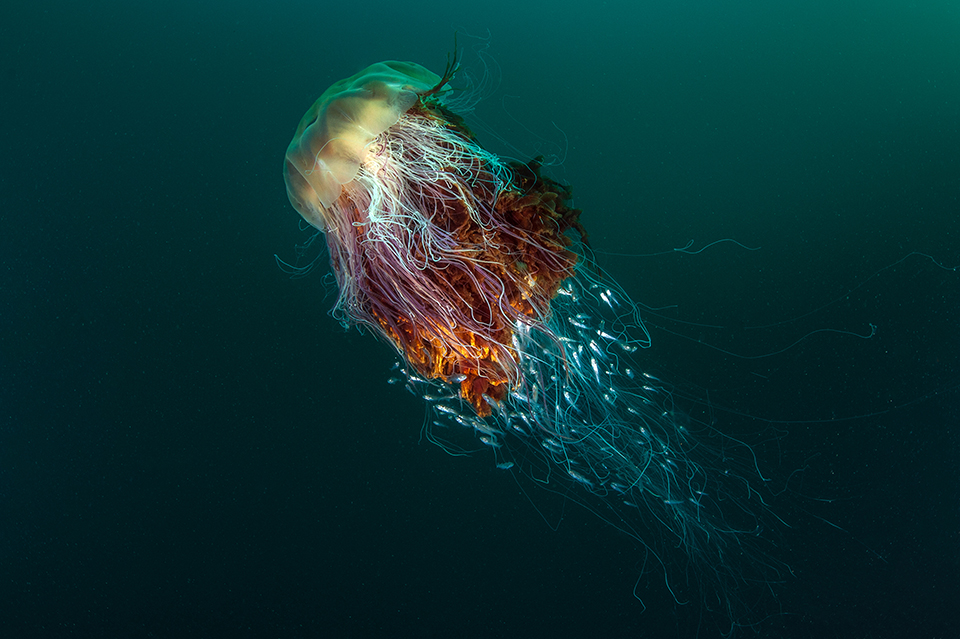 Exquisite image of huge jellyfish lands wildlife photography crown as AP reader secures double honours