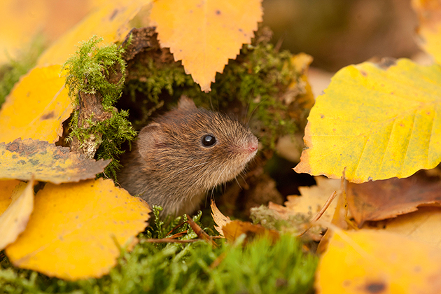 Wildlife watch: Wood mice and bank voles