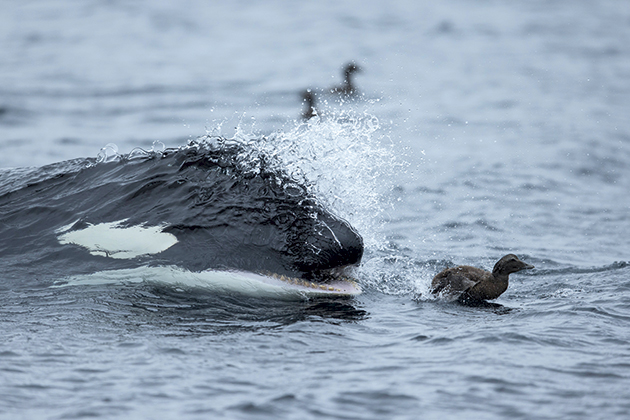 Photo insight with Guy Edwardes: Orca and Eider Duck