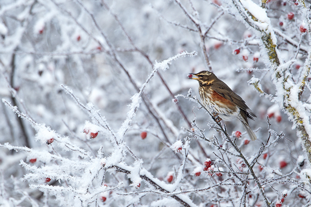 The expert guide to photographing winter birds