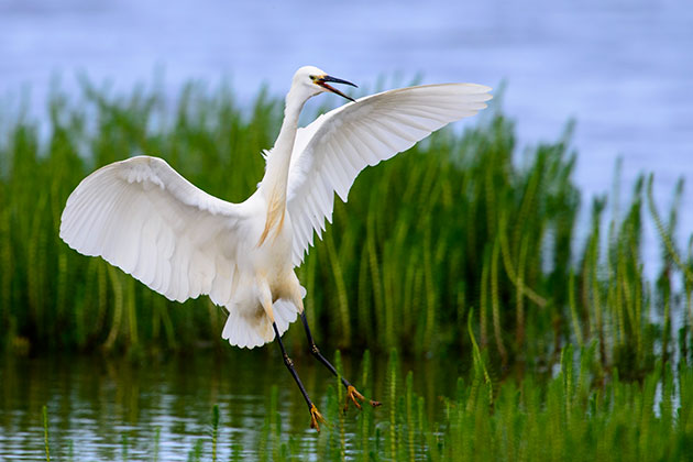 Little egret calling on landing