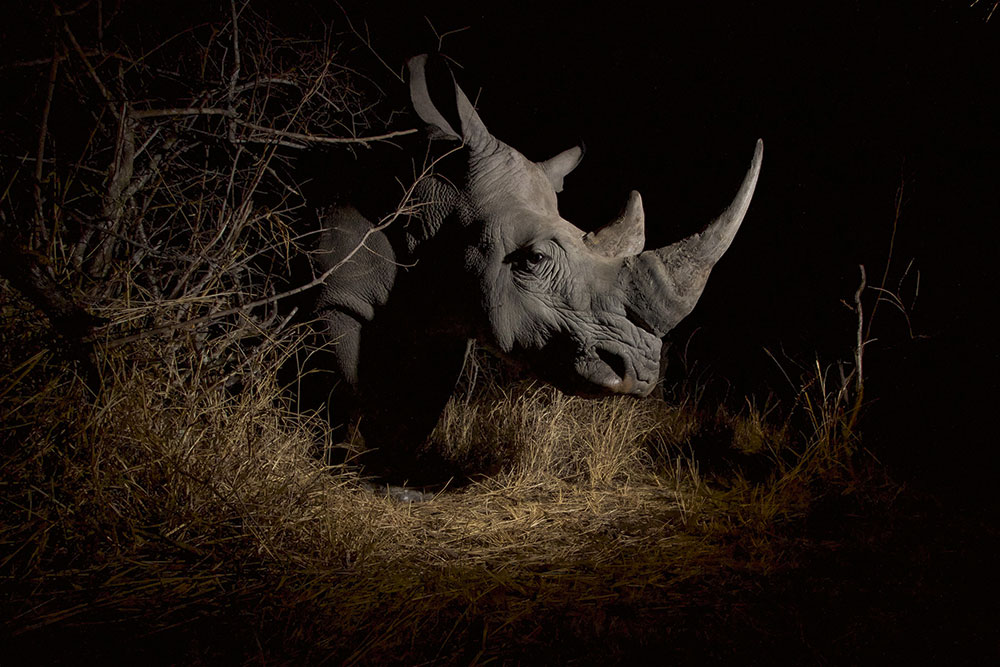 Remembering Rhinos southern white rhino at night